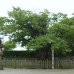 140904巨樹木津01