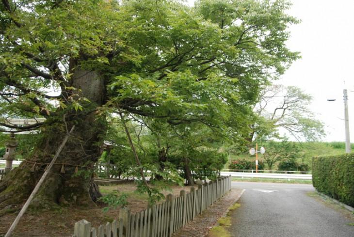 140904巨樹木津02