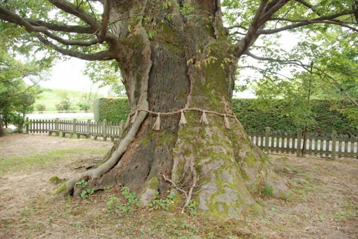 140904巨樹木津09