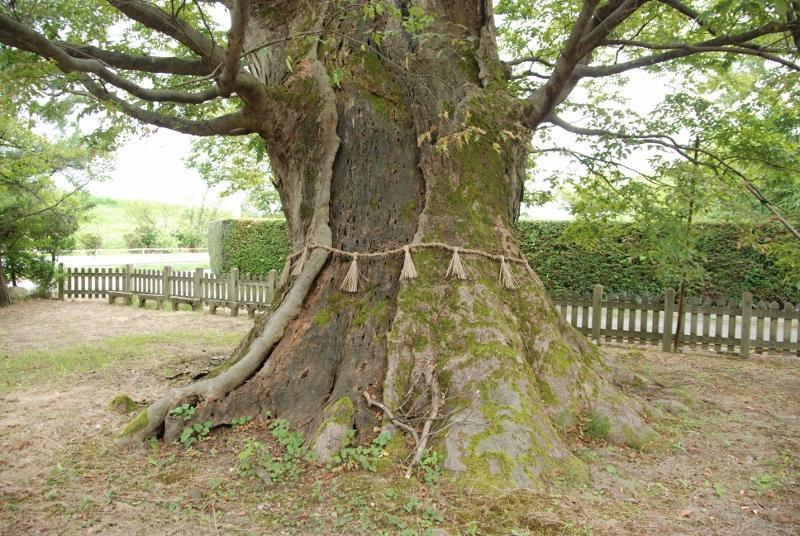年齢は700歳以上。鎌倉時代からの巨樹を訪ねて町あるき 樹木マップシリーズ第1弾