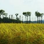 いよいよこれから新米シーズン!黄金色に輝く稲穂、米どころ新潟の原風景「夏井のはざ木」を訪ねて