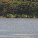 【速報】GATAポストもようやく鳥屋野潟の白鳥を確認しました