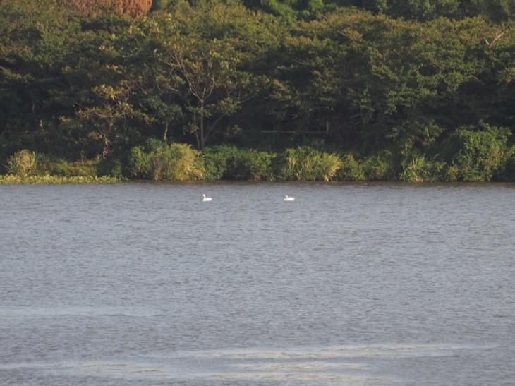 鳥屋野潟の白鳥2014