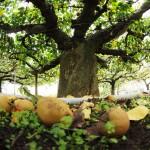 現存する唯一の原木!樹齢約200年、収穫間近の「類産梨」見てきた