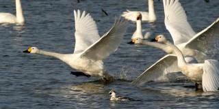 【速報】新潟市鳥選挙の結果 新潟市の鳥は白鳥に決定!