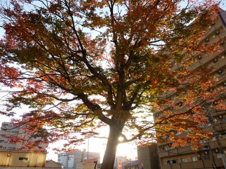 新潟市保存樹オークラ01