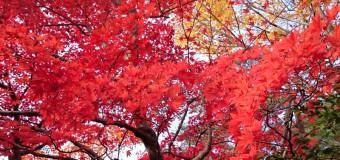 赤や黄色に染まるもみじ谷が見どころ! 県内の紅葉名所「弥彦公園」編(11/12)