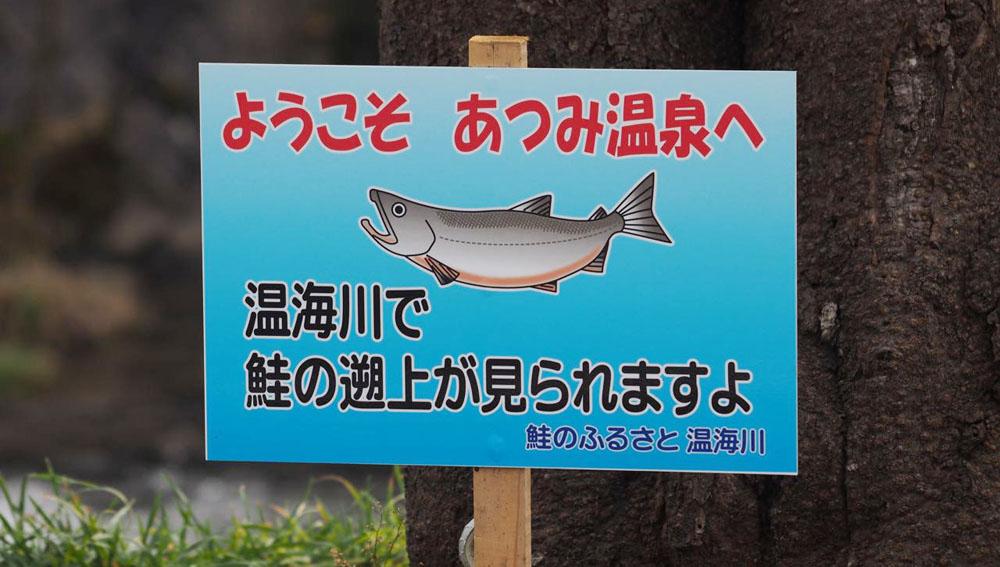 あつみ温泉の温泉街でサケの遡上を観察してきた(動画つき)