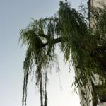 【ボタニカル】シダレヤナギ206号は新潟市の記憶の証人? 保存樹ハンターシリーズ第5弾