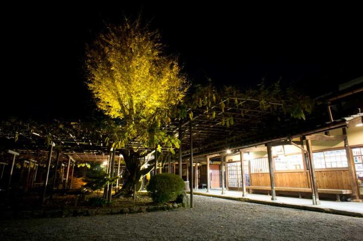 大藤棚の周辺です。イチョウの木ももちろんライトアップされています。