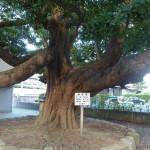 【ボタニカル】新潟の町なかで巨木に出会う大人の愉しみ 樹木マップシリーズ第3弾