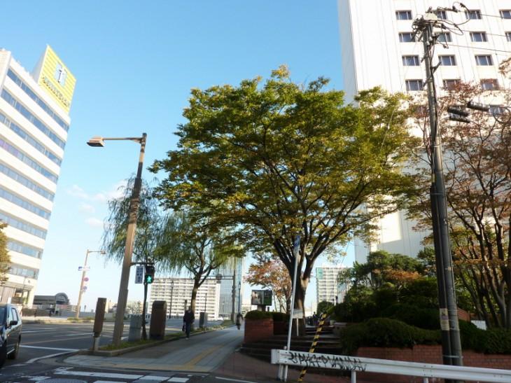 新潟市保存樹オークラ03