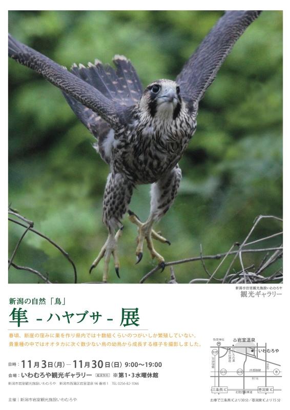 こちらが『新潟の自然「鳥」隼-ハヤブサ-展』のポスターです。(写真提供:新潟市岩室観光施設 いわむろや)