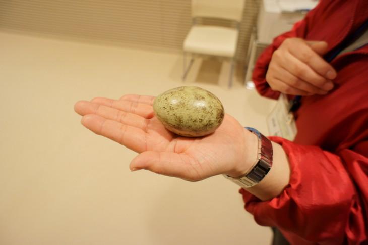 トキの卵(レプリカ)です。そんなに大きくありません。ニワトリの卵より、ちょっと大きい程度でしょうか。