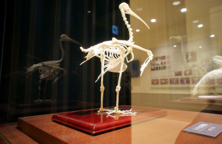 これがトキの骨格標本です。胸の部分の骨(竜骨突起)が大きいのは、飛ぶ力が優れている鳥の特徴だそうです。