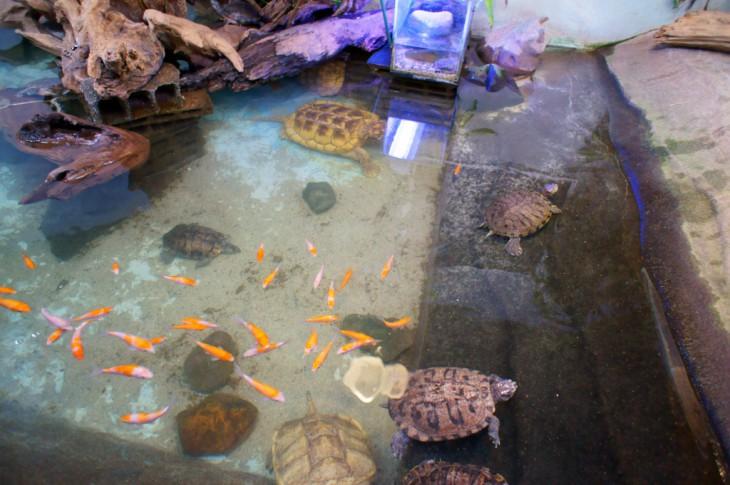 淡水カメ水槽にもいろんなカメがいます。