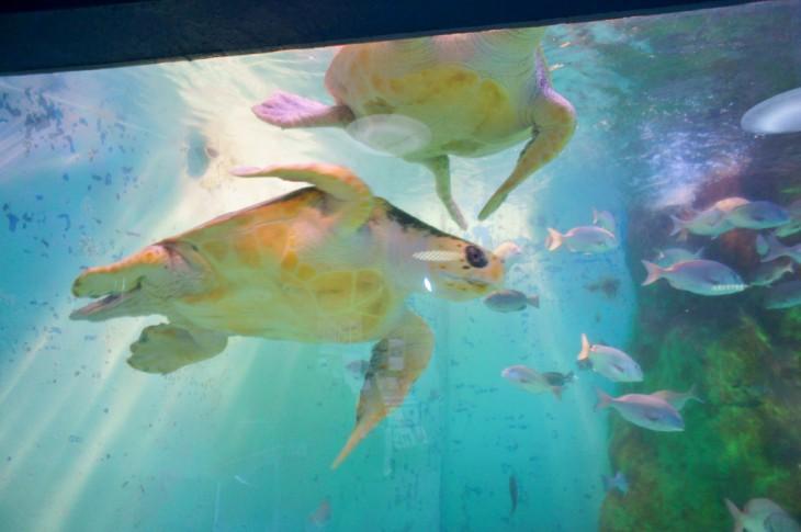 大きな水槽を優雅に泳ぐウミガメ。なんか癒やされます。