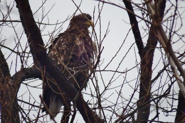 やって来ましたオジロワシ 絶滅危惧種が新潟市の真ん中、鳥屋野潟に