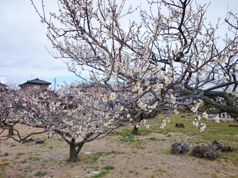 本格的な春が待ち遠しい!新潟市江南区・亀田の梅がもうすぐ見頃です