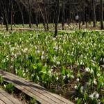 【春の花】今が見頃 五泉市の水芭蕉公園