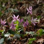 【春の花】弥彦山、週末レジャーにぴったりの低山登山