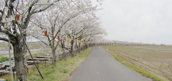 【2015サクラ動画リポート・4/13(月)】新潟市江南区・すご堀のサクラ