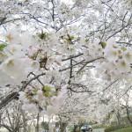 【2015サクラ動画リポート・4/8(水)】新潟市のサクラ状況を動画でチェック!