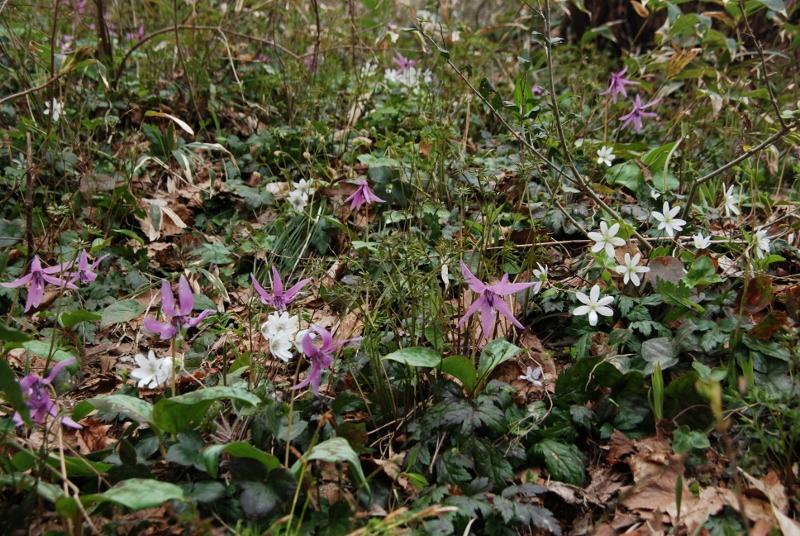 【春の山】昨日4月10日の山野草 続・弥彦山