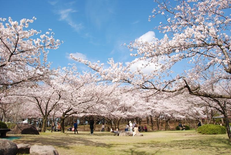 【春の花】今日4月8日の鳥屋野潟公園サクラ情報です