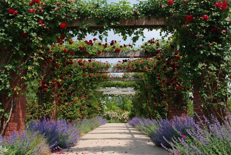 見附のバラが早くも見ごろ。入園無料(協力費100円)の英国式庭園