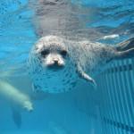 マリンピア日本海で「ゴマフアザラシ」の愛称を募集中!