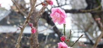 蒲原神社で梅が咲いています。