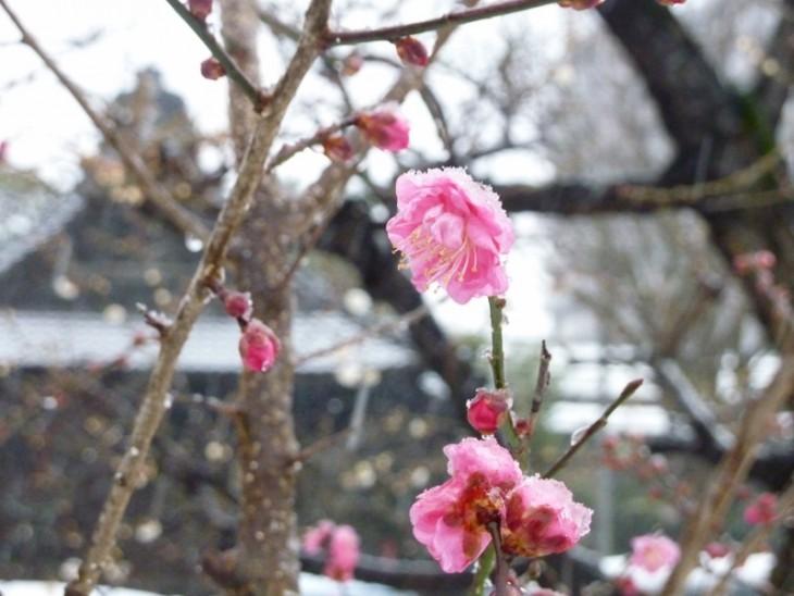 16蒲原神社の梅_04