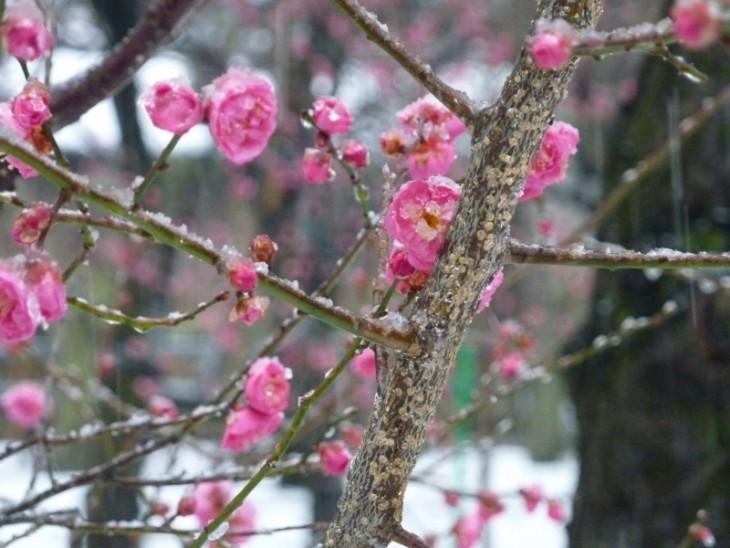 16蒲原神社の梅_03