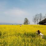 【春の花】福島潟の菜の花が見頃 新潟ボタニカル