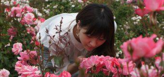 バラの香りは朝がおすすめ。丘陵公園、見頃です。